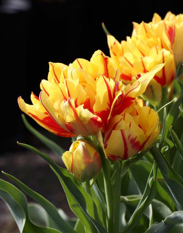 Tulip Monsella - Double Tulip - Longfield Garden - National Garden Bureau