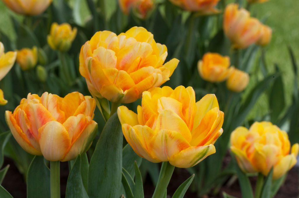 Tulip Foxy Foxtrot - Double Tulip - Longfield Gardens - National Garden Bureau - Year of the Tulip