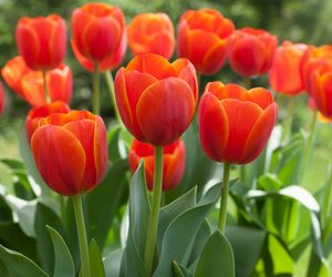Image result for tulip
