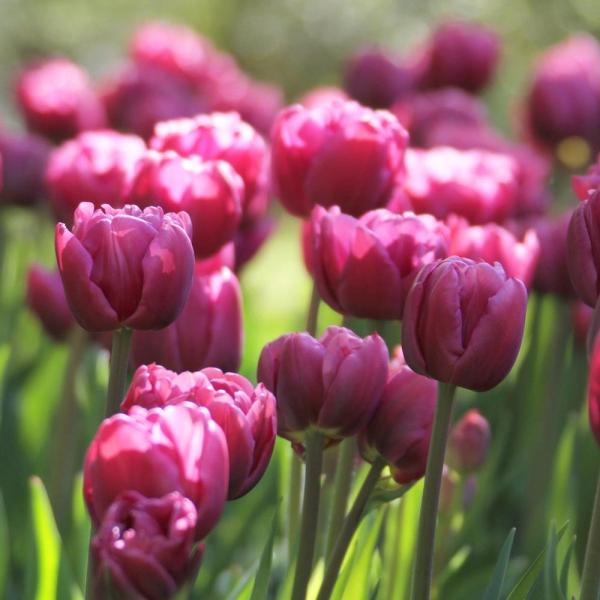 Tulip Margarita - Double Tulip - Longfield Gardens - National Garden Bureau Year of the Tulip