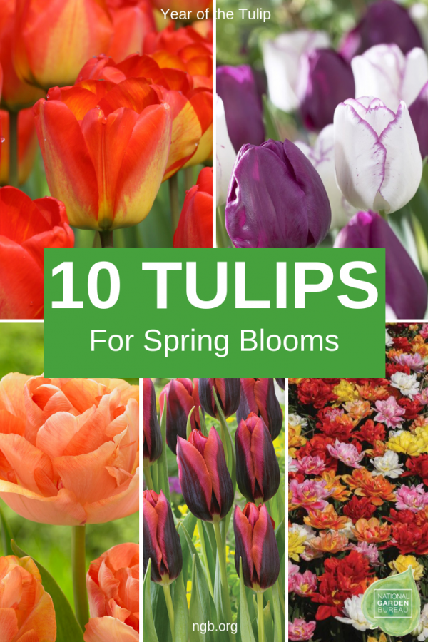 10 tulips for a beautiful spring - Year of the Tulip - National Garden Bureau