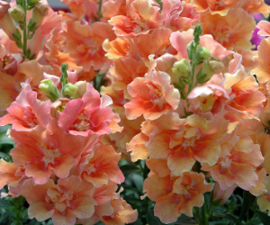 Twinning Peach Snapdragon Jung Seed