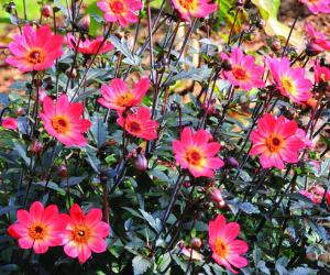 Dahlia Happy Single Flame from Brent and Becky's - National Garden Bureau