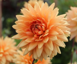 Dahlia Noordwijks Glorie from Longfield Gardens - National Garden Bureau