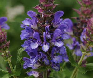 Salvia Blue Marvel from American Meadows