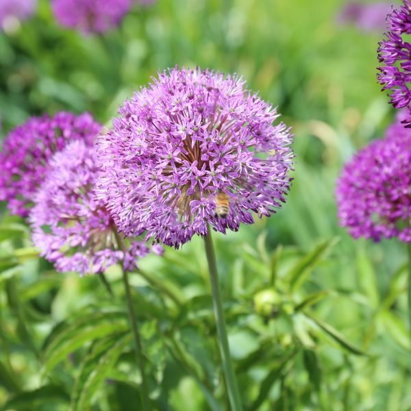 Allium Purple Sensation - Longfield Garden - National Garden Bureau