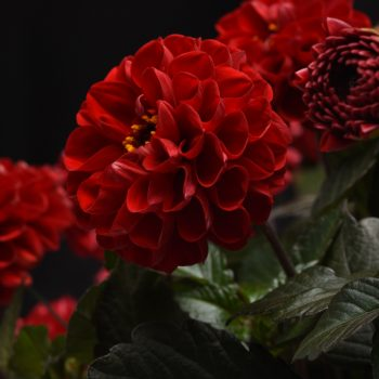 Dahlia City Lights Red from Selecta One - Year of the Dahlia - National Garden Bureau