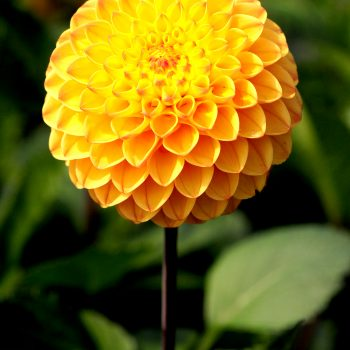 Dahlia Clearview Butterscotch from American Dahlia Society - Year of the Dahlia - National Garden Bureau
