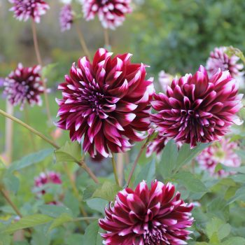 Dahlia Contraste from Longfield Gardens - Year of the Dahlia - National Garden Bureau