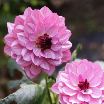 Dahlia Creme De Cassis from Longfield Gardens - Years of the Dahlia - National Garden Bureau