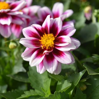 Dahlia Dahlinova Florida from Dummen Orange - Year of the Dahlia - National Garden Bureau