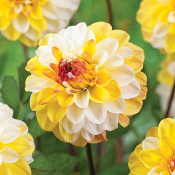 Dahlia Double Jill from Van Zyverden - Year of the Dahlia - National Garden Bureau