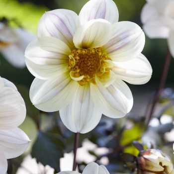 Dahlia Dreamy Days from Concept Plants - Year of the Dahlia - National Garden Bureau
