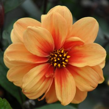 Dahlia Dreamy Eyes from Concept Plants - Year of the Dahlia - National Garden Bureau
