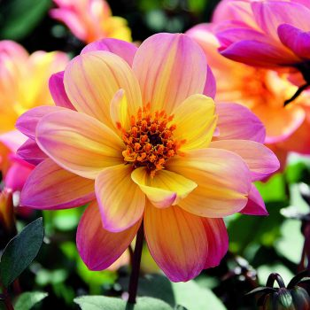 Dahlia Dreamy Fantasy from Concept Plants - Year of the Dahlia - National Garden Bureau