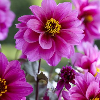 Dahlia Dreamy Kiss from Concept Plants - Year of the Dahlia - National Garden Bureau