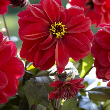 Dahlia Dreamy Lips from Concept Plants - Year of the Dahlia - National Garden Bureau