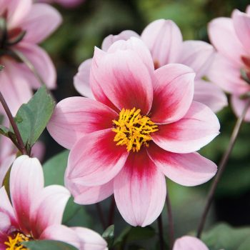 Dahlia Dreamy Morning from Concept Plants - Year of the Dahlia - National Garden Bureau