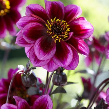 Dahlia Dreamy Nights from Concept Plants - Year of the Dahlia - National Garden Bureau