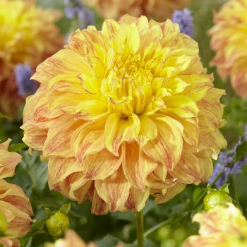 Dahlia El Sol form Van Zyverden - Year of the Dahlia - National Garden Bureau