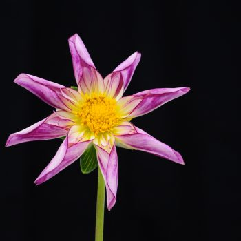 Dahlia Fancy Pants from American Dahlia Society - Year of the Dahlia - National Garden Bureau