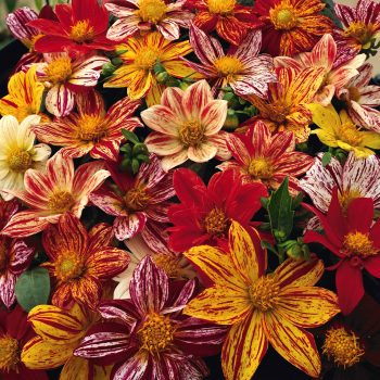 Dahlia Fireworks from Garden Trends - Year of the Dahlia - National Garden Bureau