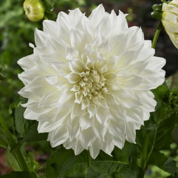 Dahlia Fleurel Nova Flora from Flamingo Holland - Year of the Dahlia - National Garden Bureau