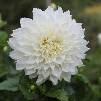 Dahlia Fleurel from Longfield Garden - Year of the Dahlia - National Garden Bureau