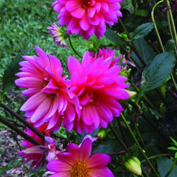 Dahlia Fushiana from Brent and Beckys - Year of the Dahlia - National Garden Bureau