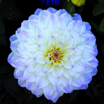 Dahlia Gallery Monet from Brent and Beckys - Year of the Dahlia - National Garden Bureau