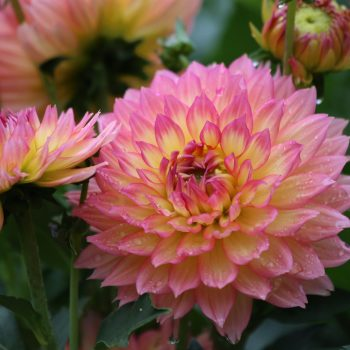 Dahlia Gallery Pablo from Longfield Gardens - Year of the Dahlia - National Garden Bureau