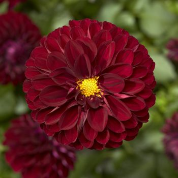 Dahlia Grandalia Burgundy from Syngenta Flowers - Year of the Dahlia - National Garden Bureau