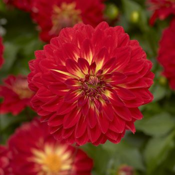 Dahlia Grandalia Fire from Syngenta Flowers - Year of the Dahlia - National Garden Bureau