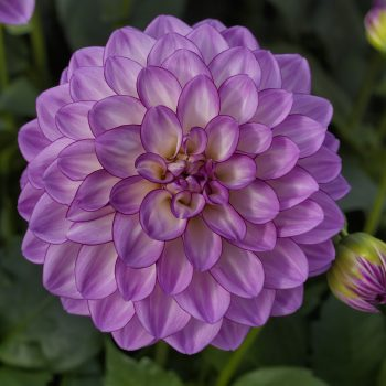 Dahlia Grandalia Pink from Syngenta Flowers - Year of the Dahlia - National Garden Bureau