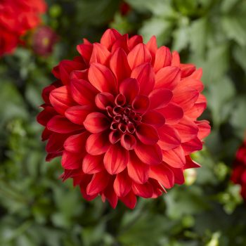 Dahlia Grandalia Red from Syngenta Flowers - Year of the Dahlia - National Garden Bureau