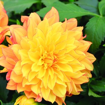 Dahlia Grandalia Sunny Flame from Syngenta Flowers - Year of the Dahlia - National Garden Bureau