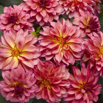 Dahlia Grandalia Sunrise from Syngenta Flowers - Year of the Dahlia - National Garden Bureau