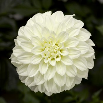 Dahlia Grandalia White from Syngenta Flowers - Year of the Dahlia - National Garden Bureau