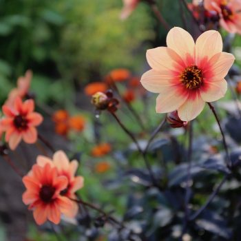 Dahlia HS Date from Longfield Gardens - Year of the Dahlia - National Garden Bureau