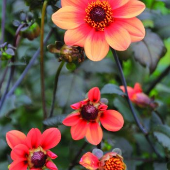 Dahlia Happy Single Date First Love from Brent and Beckys - Year of the Dahlia - National Garden Bureau