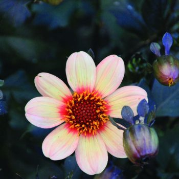 Dahlia Happy Single First Love from Brent and Beckys - Year of the Dahlia - National Garden Bureau