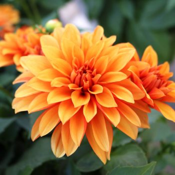 Dahlia Hypnotica Bronze from Dummen Orange - Year of the Dahlia - National Garden Bureau