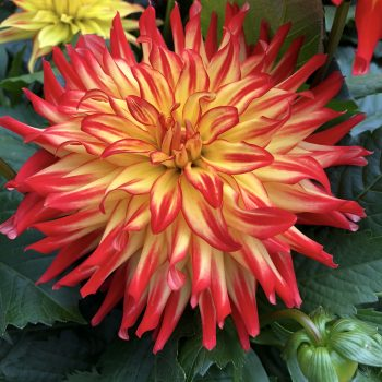 Dahlia Hypnoticalcarus from Dummen Orange - Year of the Dahlia - National Garden Bureau