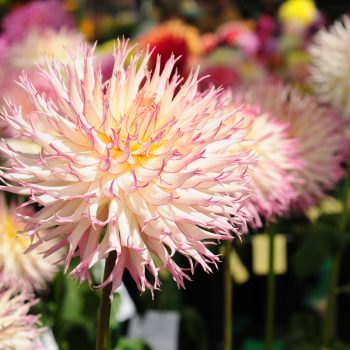 Dahlia Jennie from American Dahlia Society - Year of the Dahlia - National Garden Bureau