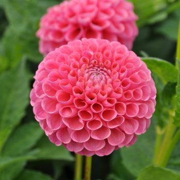 Dahlia Jowey Frambo from Flamingo Holland - Year of the Dahlia - National Garden Bureau
