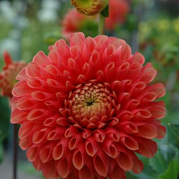 Dahlia Jowey Linda from Flamingo Holland - Year of the Dahlia - National Garden Bureau