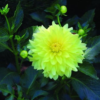 Dahlia Kelvin Floodlight from Brent and Beckys - Year of the Dahlia - National Garden Bureau