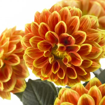 Dahlia Labella Medio Fun Orange Flame