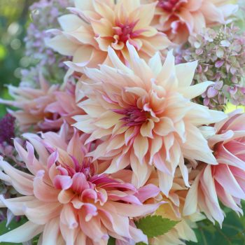 Dahlia Labyrinth from Longfield Gardens - Year of the Dahlia - National Garden Bureau