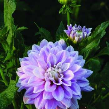 Dahlia Lavender Perfection from Brent and Beckys - Year of the Dahlia - National Garden Bureau